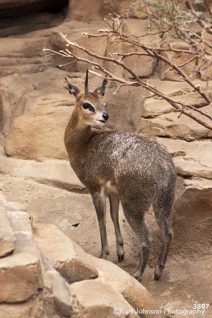 wildlife animals brown deer