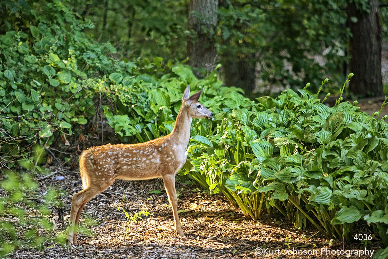 wildlife deer green grass animal