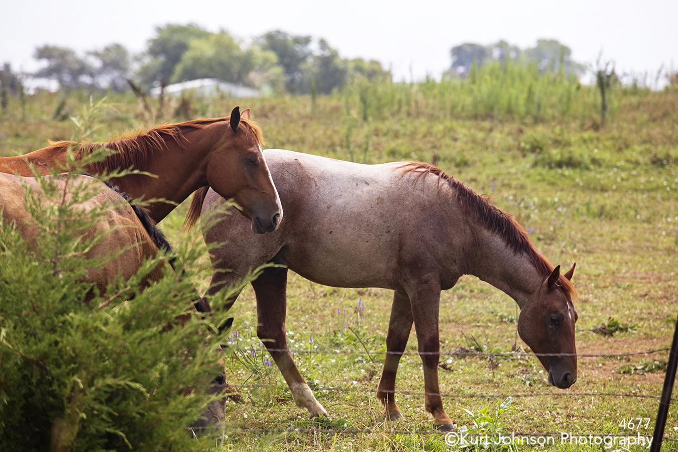 brown horse horses green grass field meadow wildlife animals