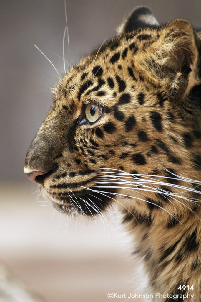 wildlife spotted leopard animal