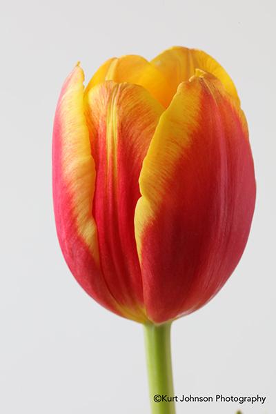 orange yellow tulip studio botanical still macro flower image