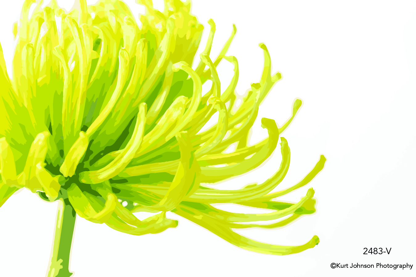 studio yellow flower chrysanthemum detail close up macro vector