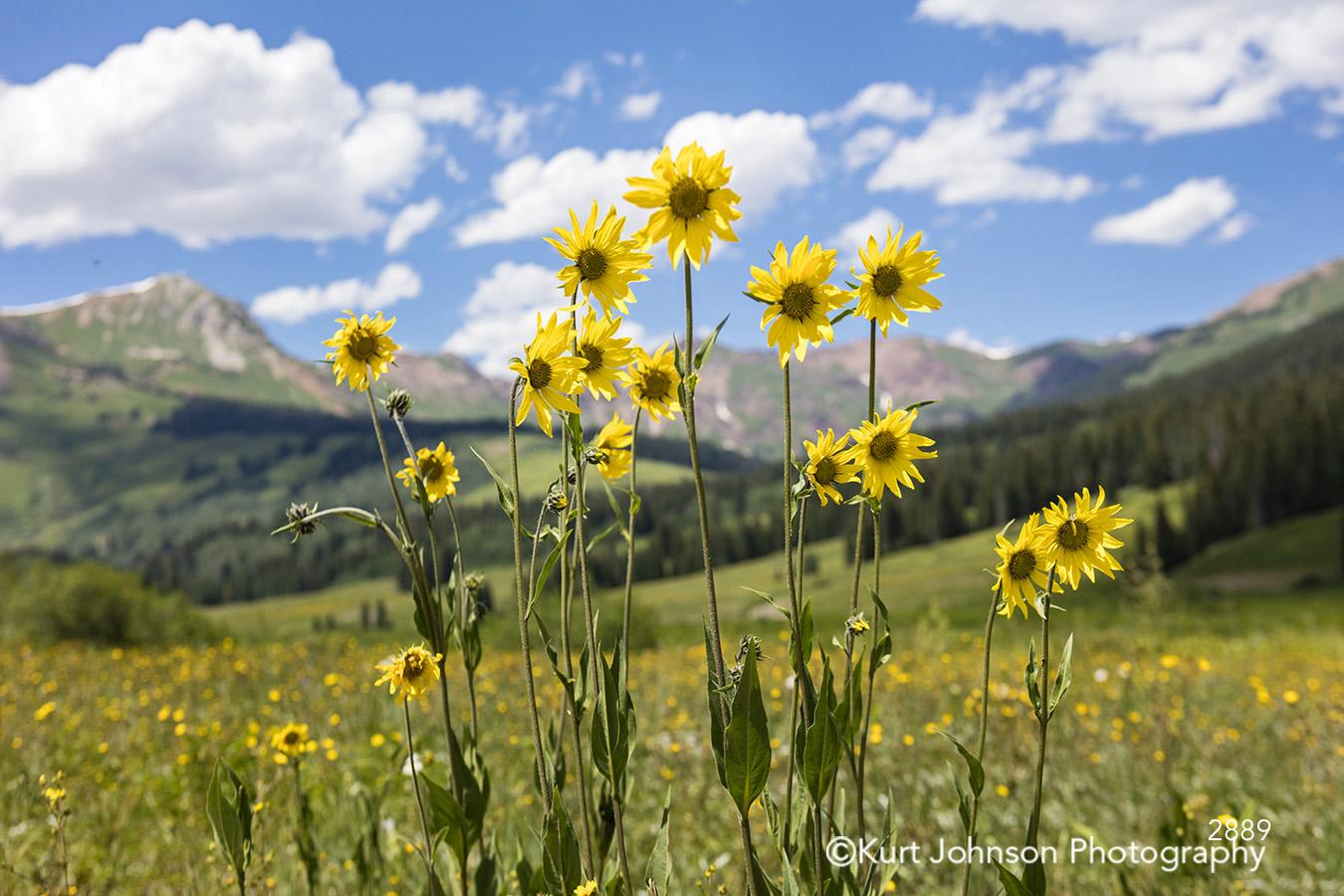 bright yellow flower midwest field wildflower sunflower meadow blue sky clouds