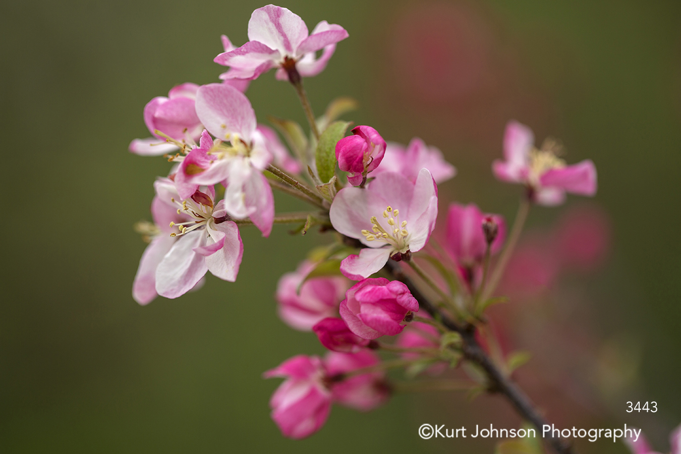 pink spring flowers buds cherry blossom blossoms detail close up stem branch
