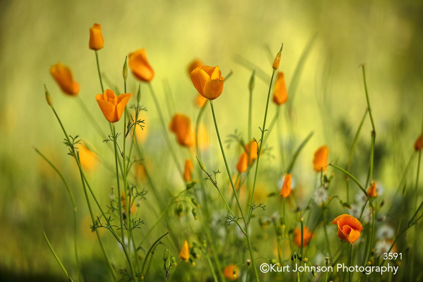 orange buttercup wildflower green grasses field meadow prairie