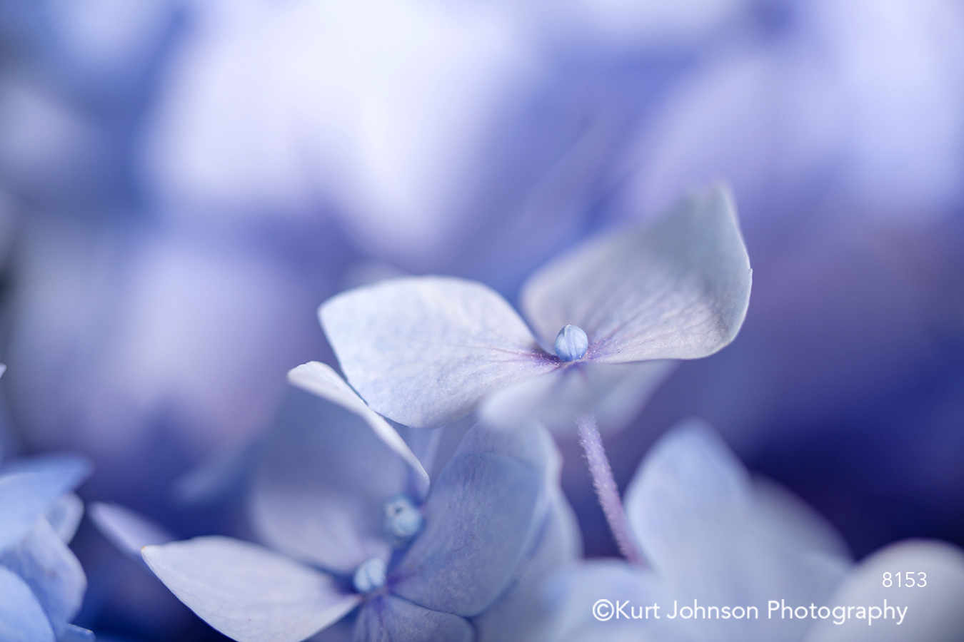 purple lavender blue hydrangea flowers petals delicate detail close up macro
