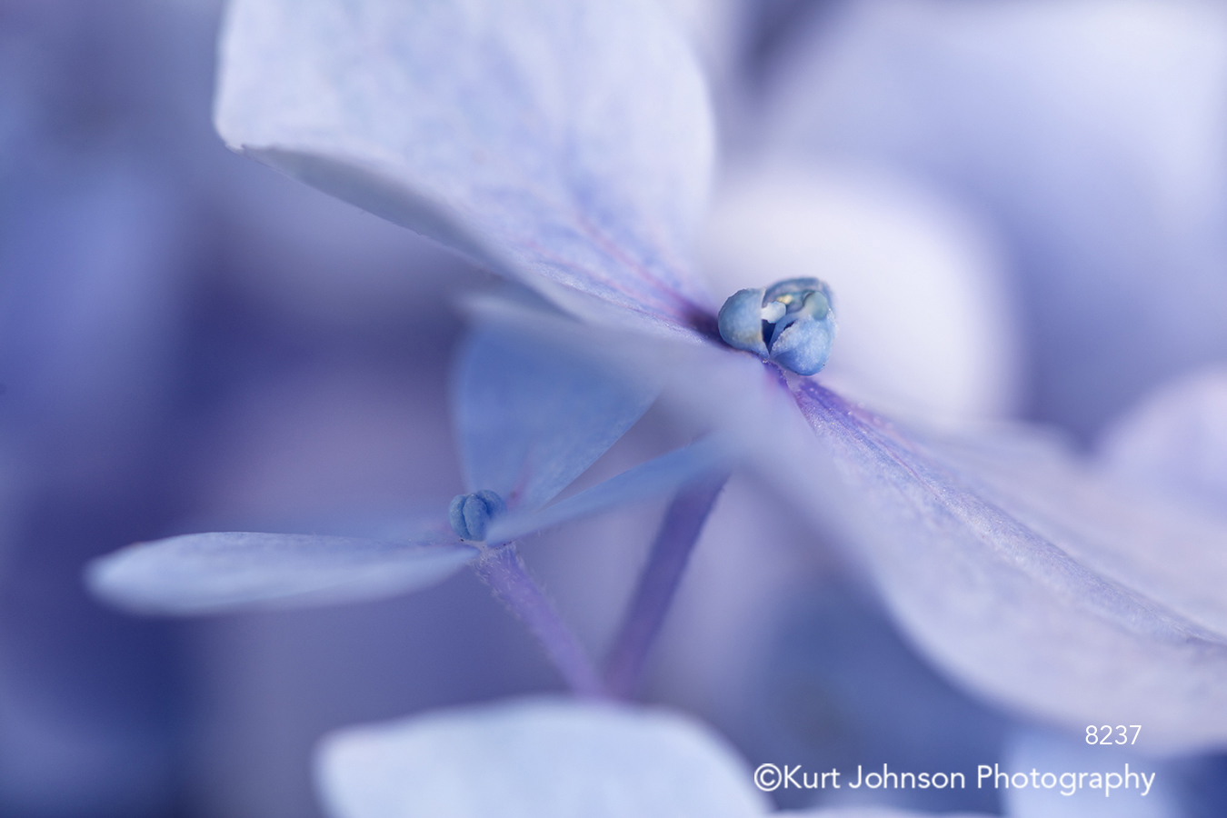 lavender purple blue hydrangea bloom blossom close up macro delicate detail