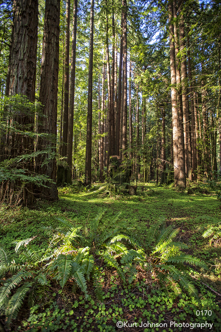 green tall tree trees forest grass redwood brown branches