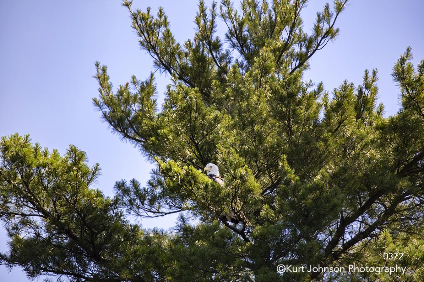 wildlife eagle bird animal green tree blue sky