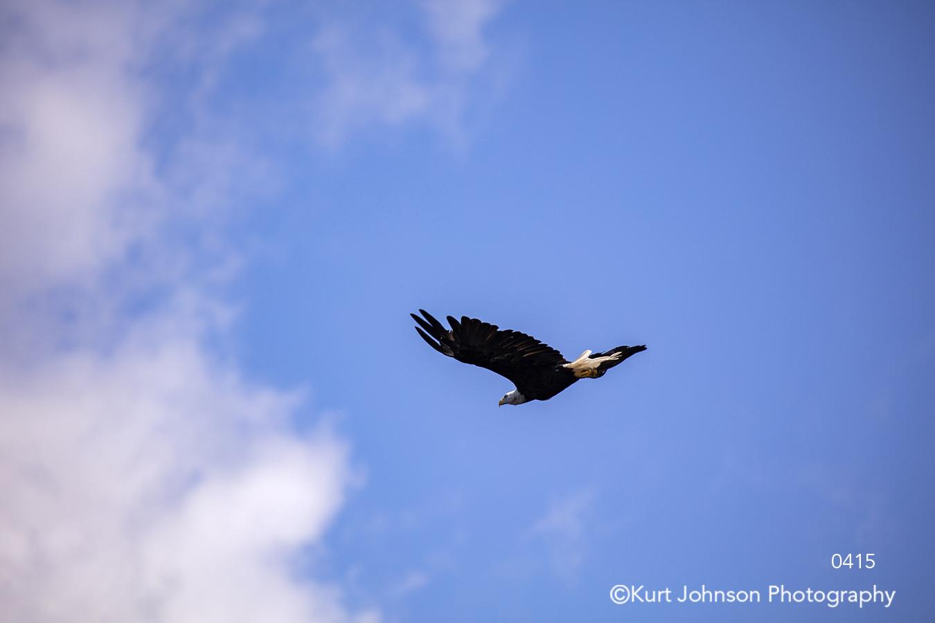 blue sky bald eagle bird fly flying clouds animal wildlife