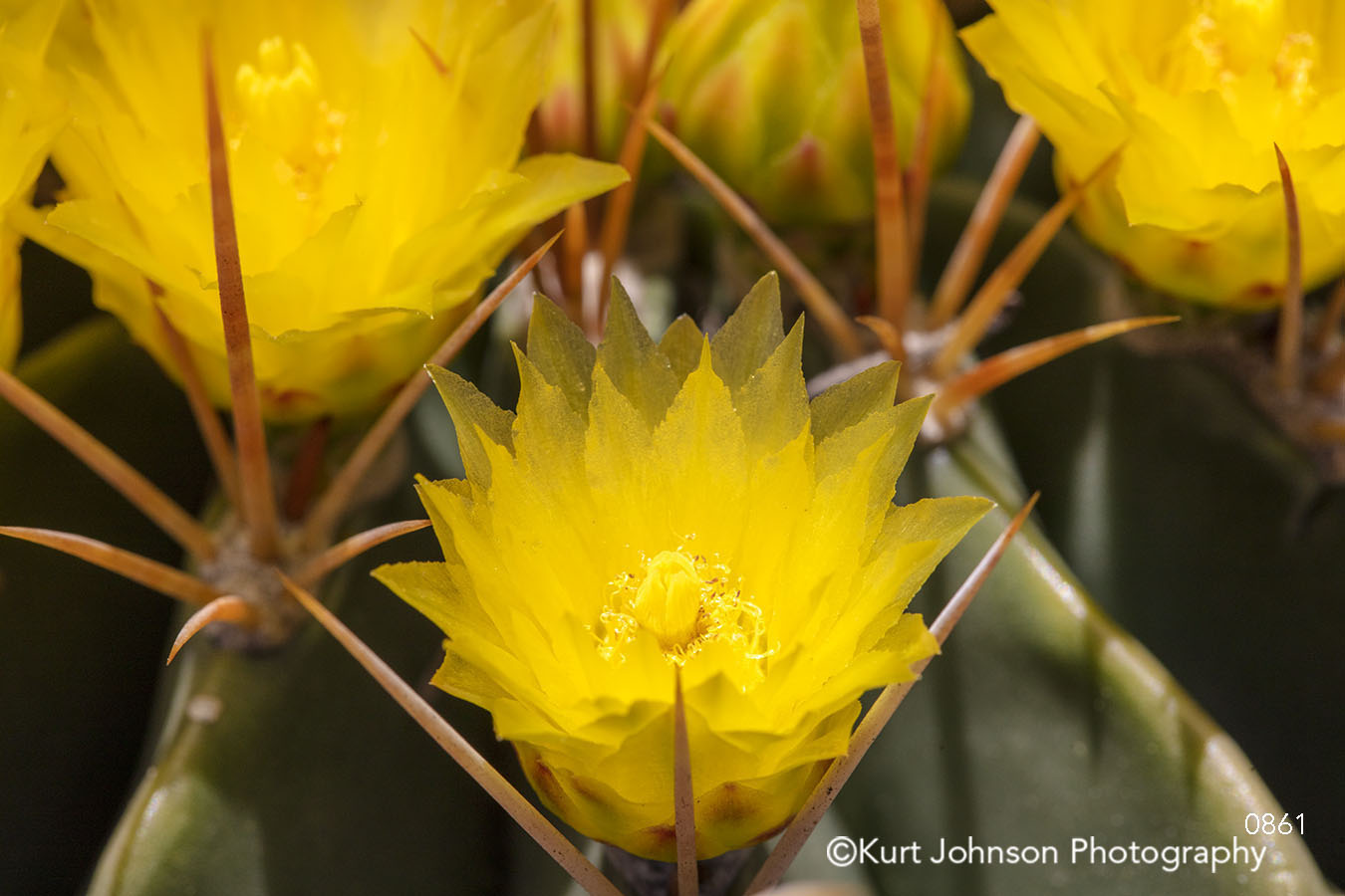 yellow desert flower flowers southwest close up detail indigenous