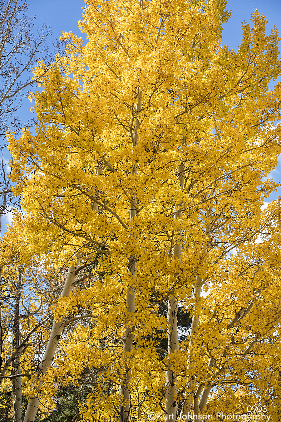 yellow gold tree trees branches forest blue sky autumn fall leaves
