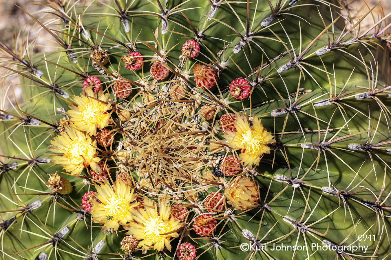 yellow red circle cacti cactus texture desert plant flower southwest botanical garden
