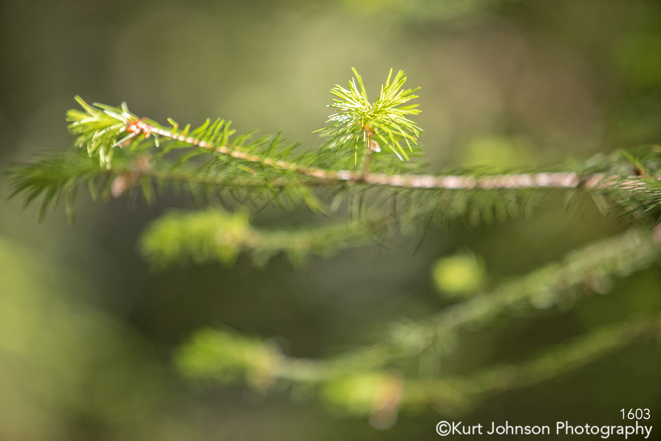 green tree branch evergreen trees pine needle forest close up macro detail