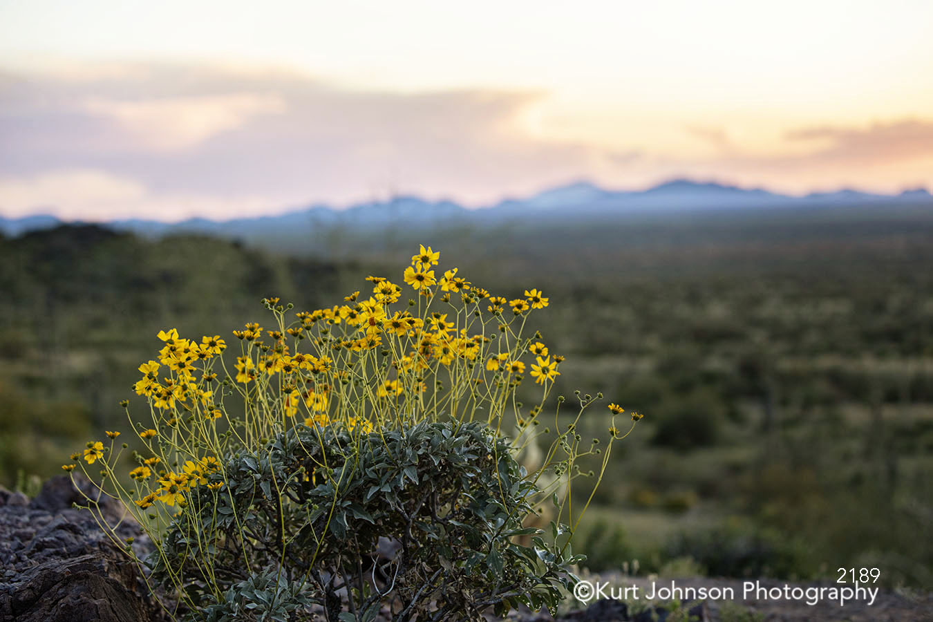 yellow flowers southwest wildflowers desert landscape horizon sunset sunrise mountains