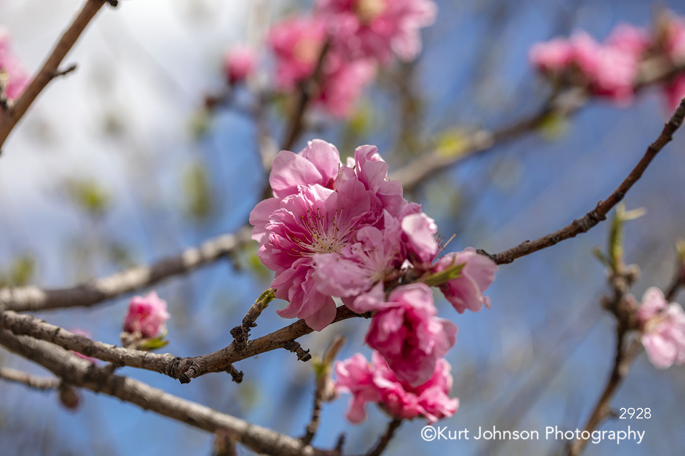 pink flower bloom cherry blossom branches flowering tree spring