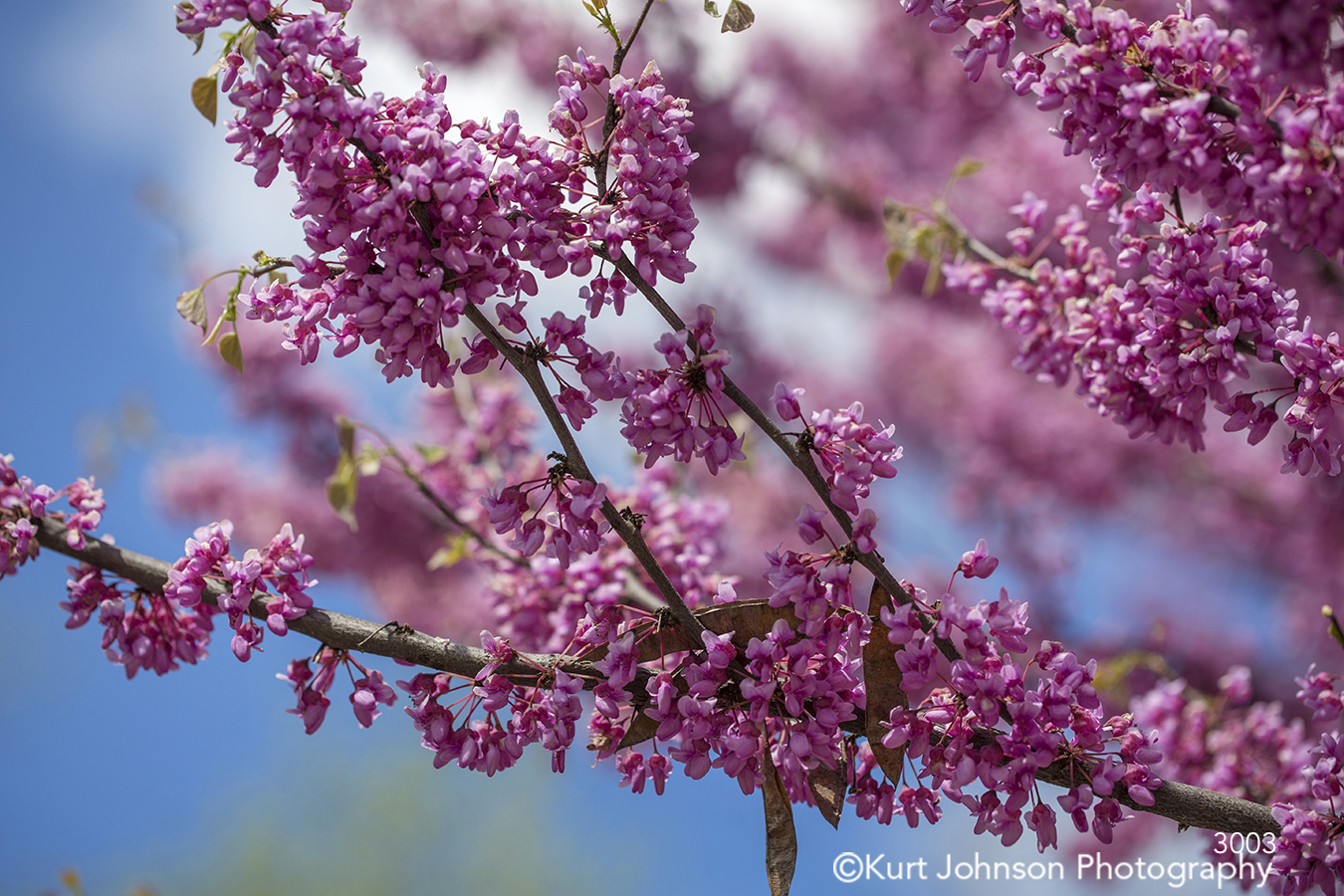 pink purple spring blossom buds bloom tree branch branches close up detail