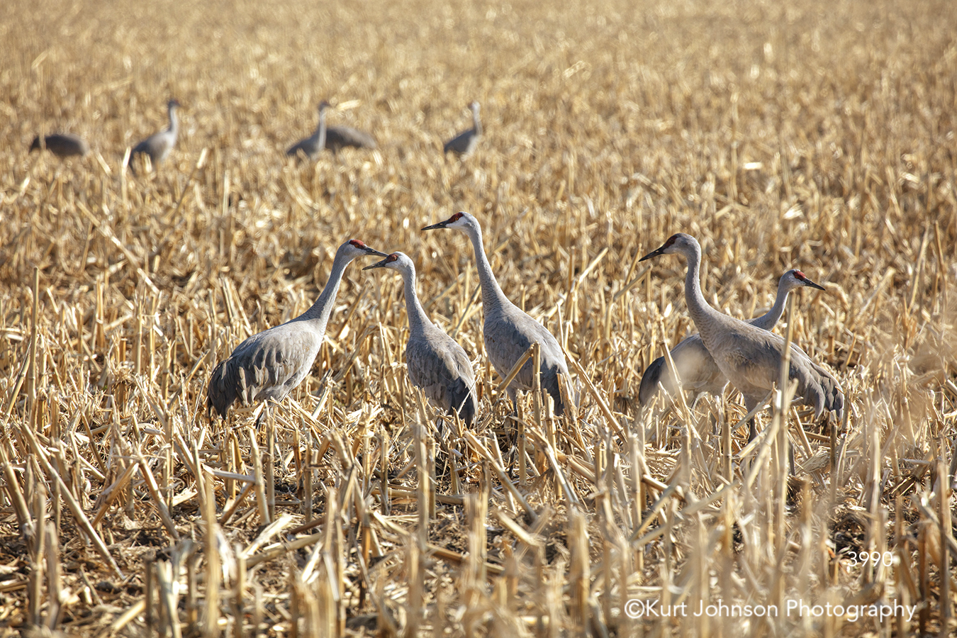 sandhill crane cranes midwest bird flying sandhills yellow wheat field landscape animal wildlife