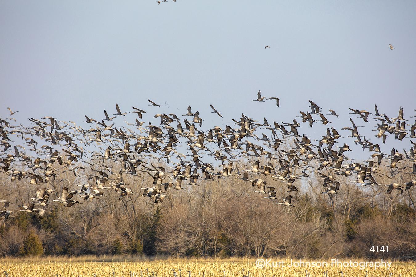 sandhill crane cranes midwest bird flying sandhills yellow wheat field landscape animal wildlife