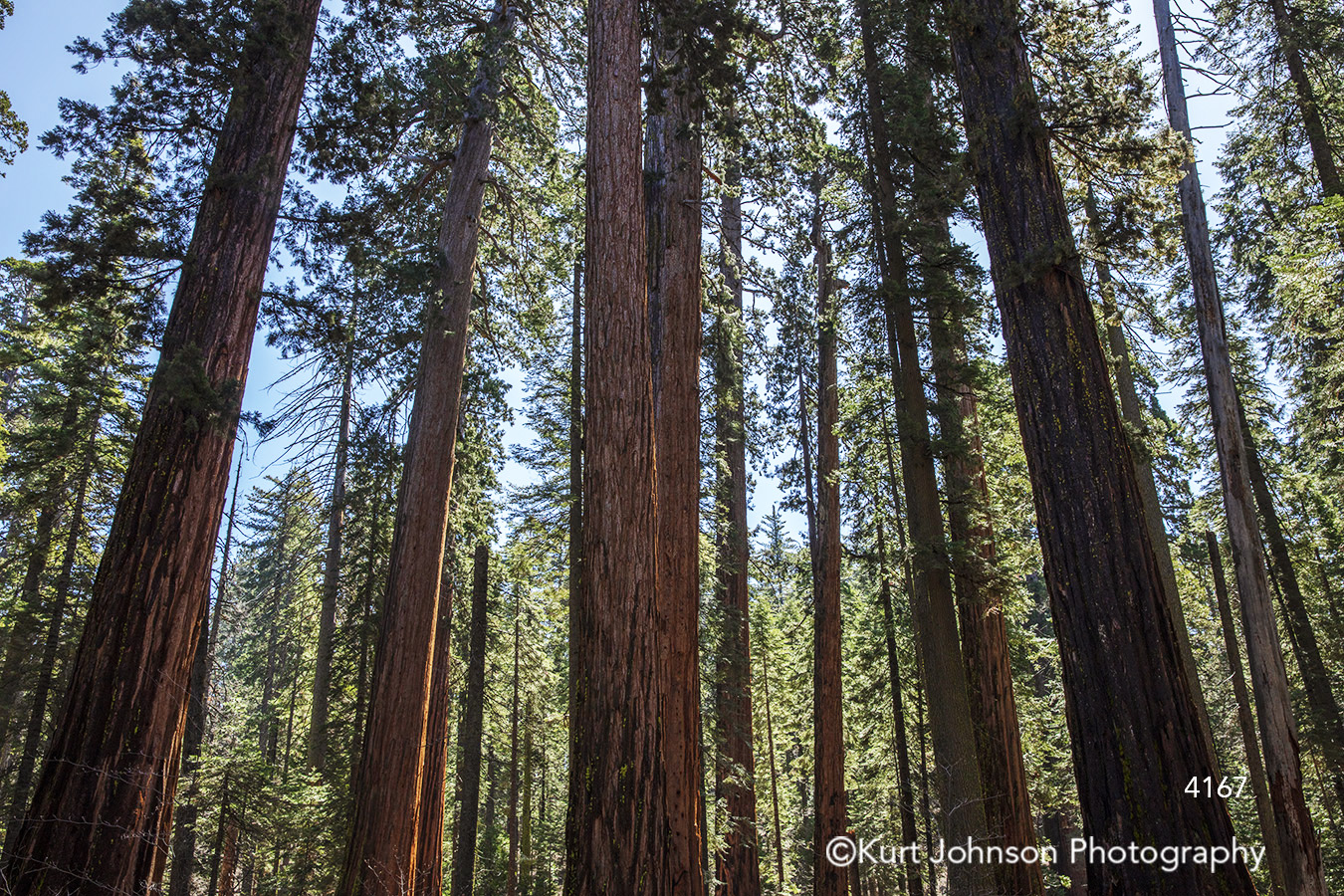 tall green tree trees branch forest redwood