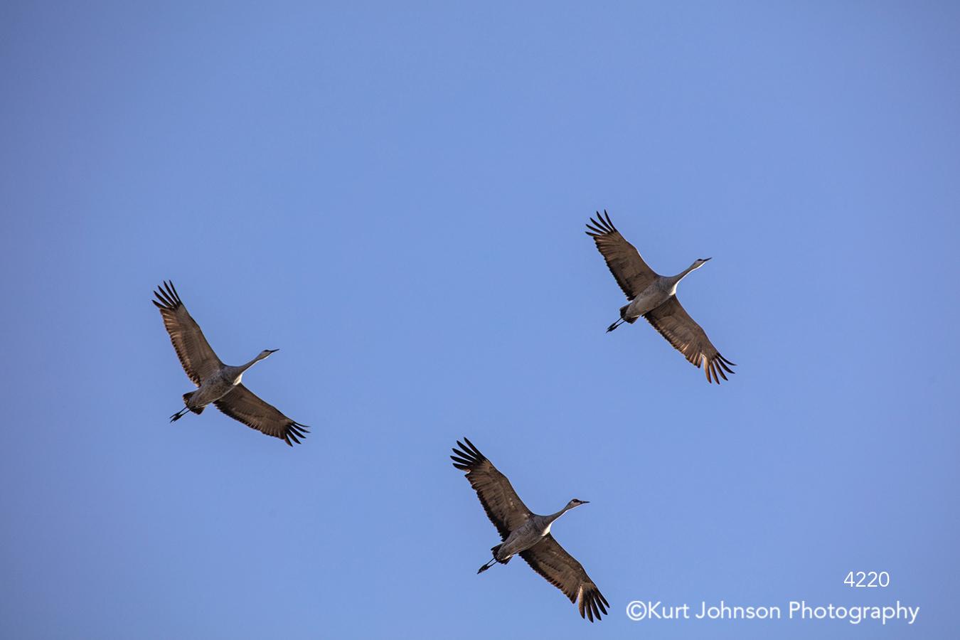 bird birds fly flying sandhill cranes geese wings blue sky wildlife animals
