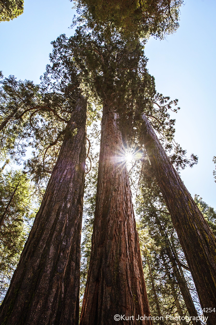 tall green trees brown branches forest redwood evergreen treetop