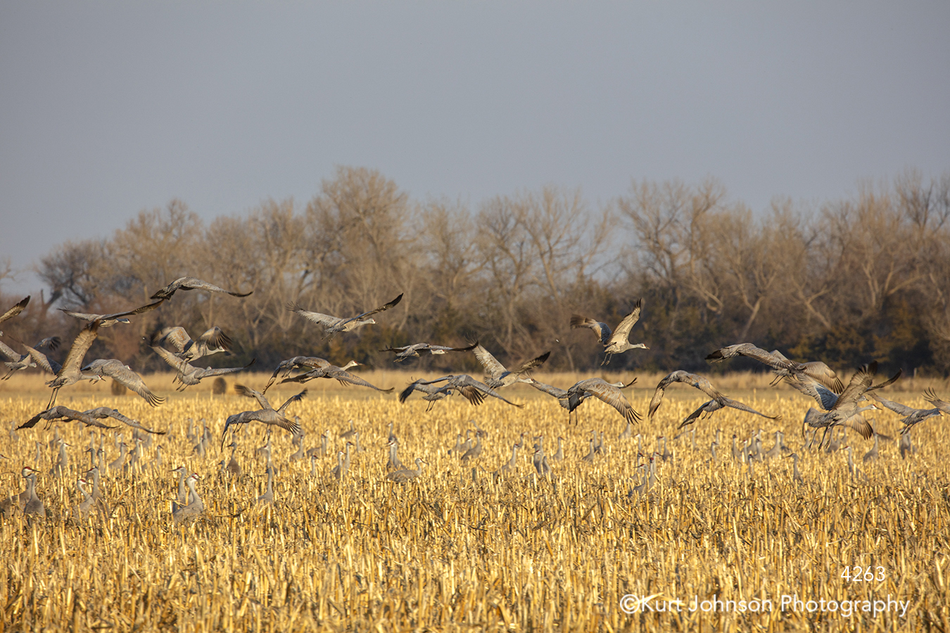 sandhill cranes birds fly flying yellow gold wheat field animal nature wildlife midwest