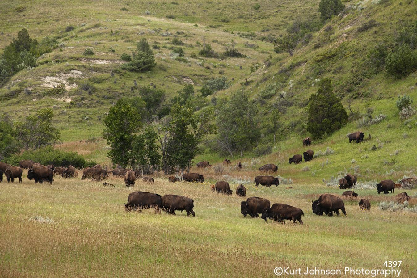 buffalo cattle brown steer green grass open field farm farmland trees landscape