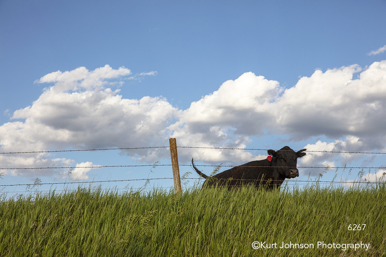 midwest landscape cow steer bull farm green grass field blue sky clouds wire rustic fence animal wildlife