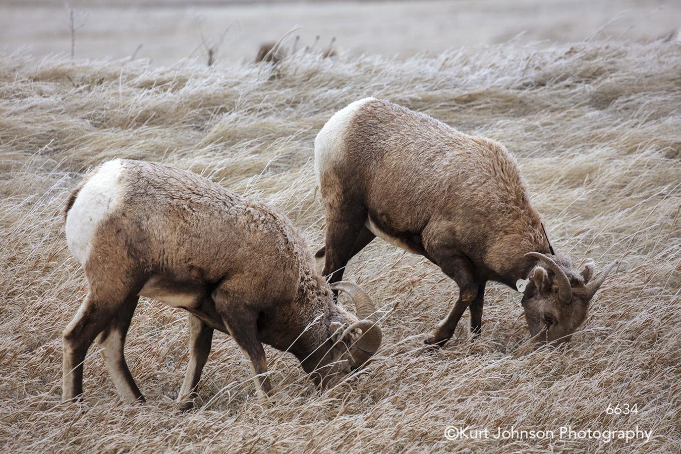 winter landscape longhorn ram sheep wildlife animals