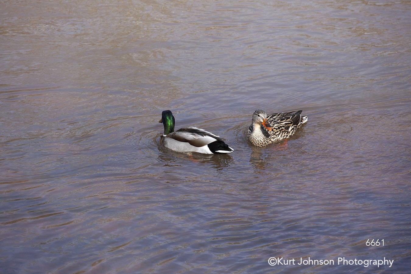 water waterscape duck ducks geese animal wildlife feathers children children's art