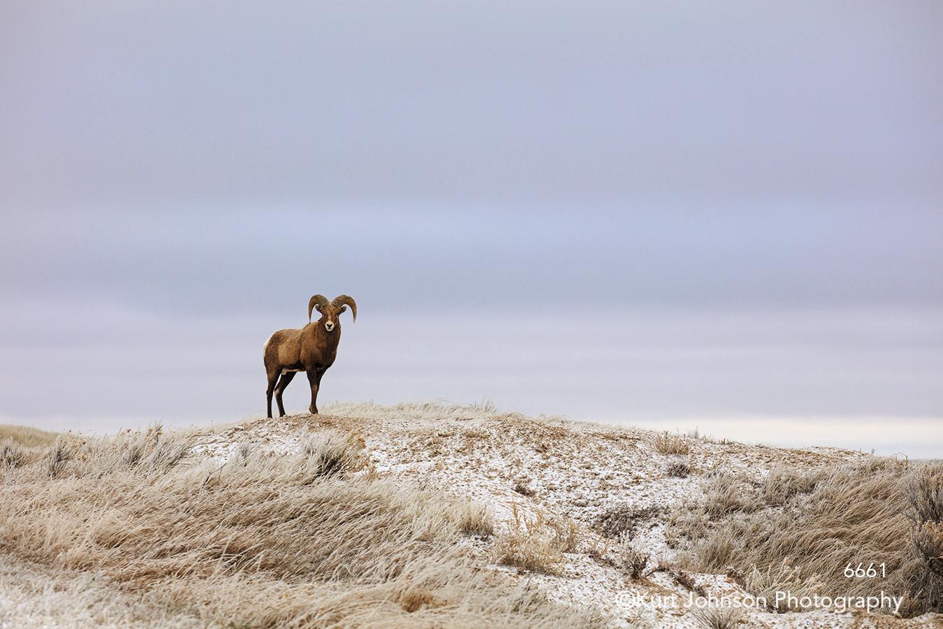 bighorn sheep ram animal wildlife brown landscape