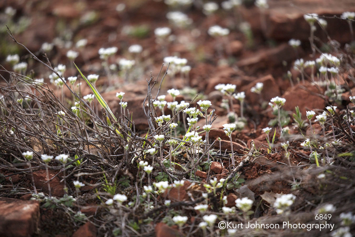 southwest white flowers desert dry landscape detail close up