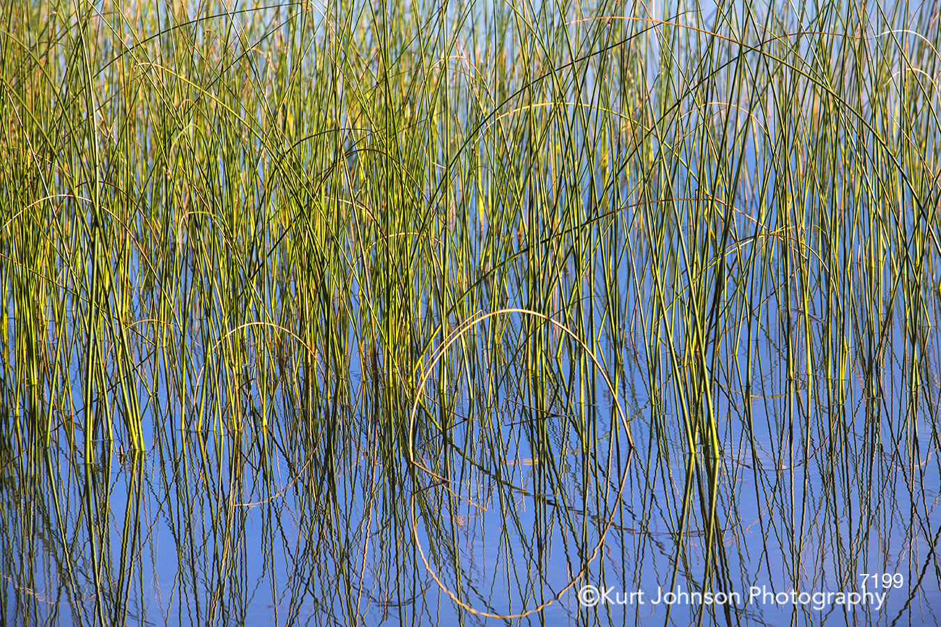tall grass grasses green blue water reflection reed lines