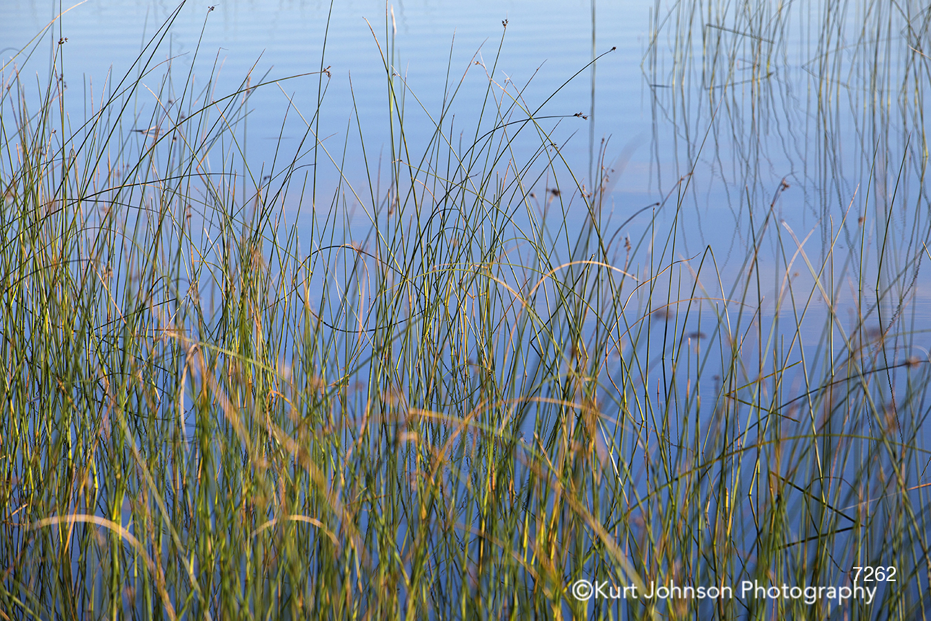 tall grass grasses reed marshy water river reflection lines
