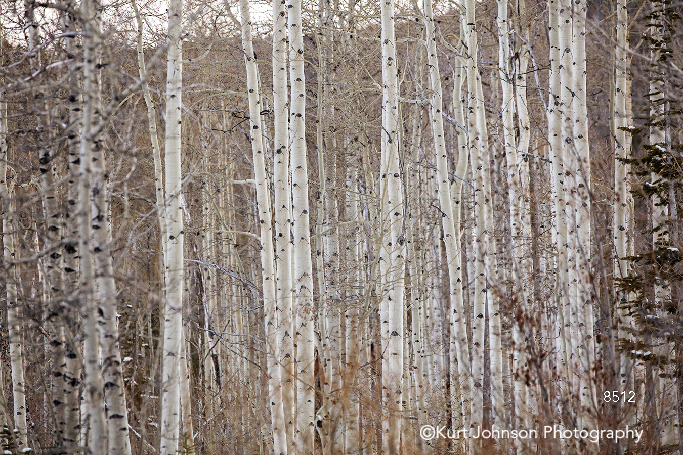 white birch tree trees branches forest