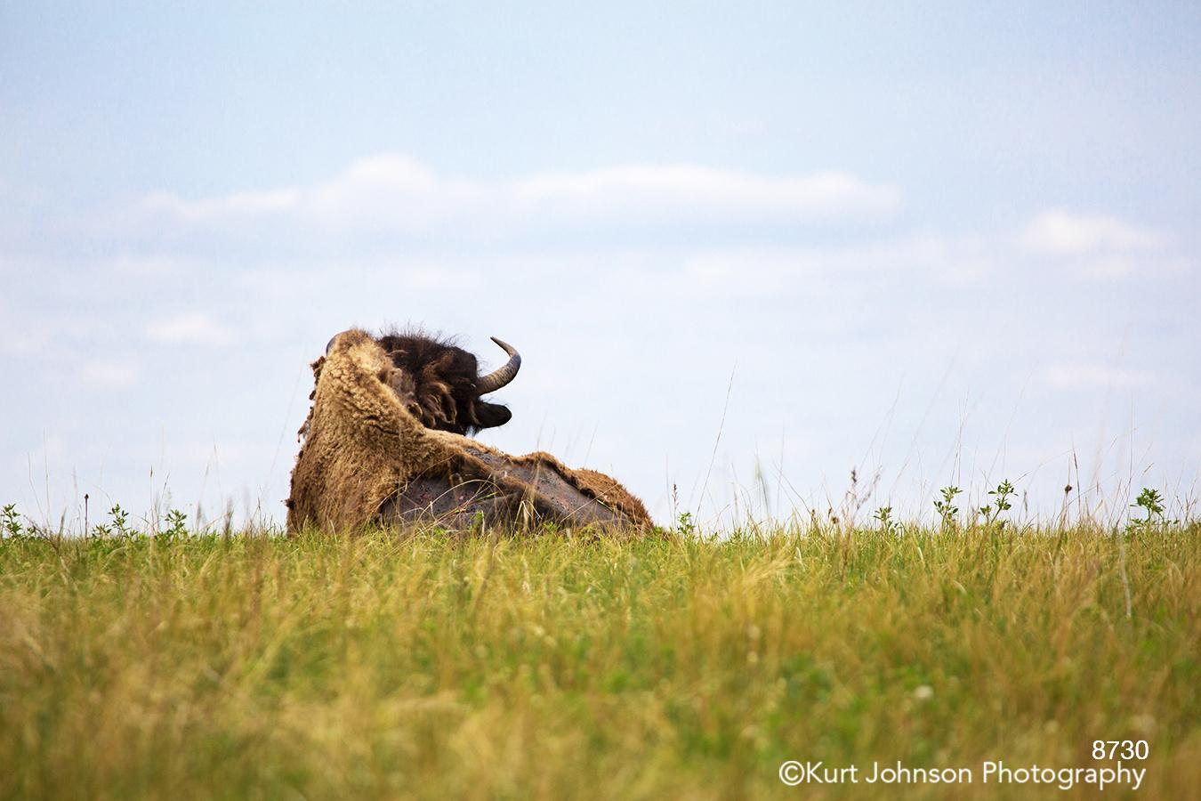wildlife buffalo antler green grass blue sky clouds farm field landscape