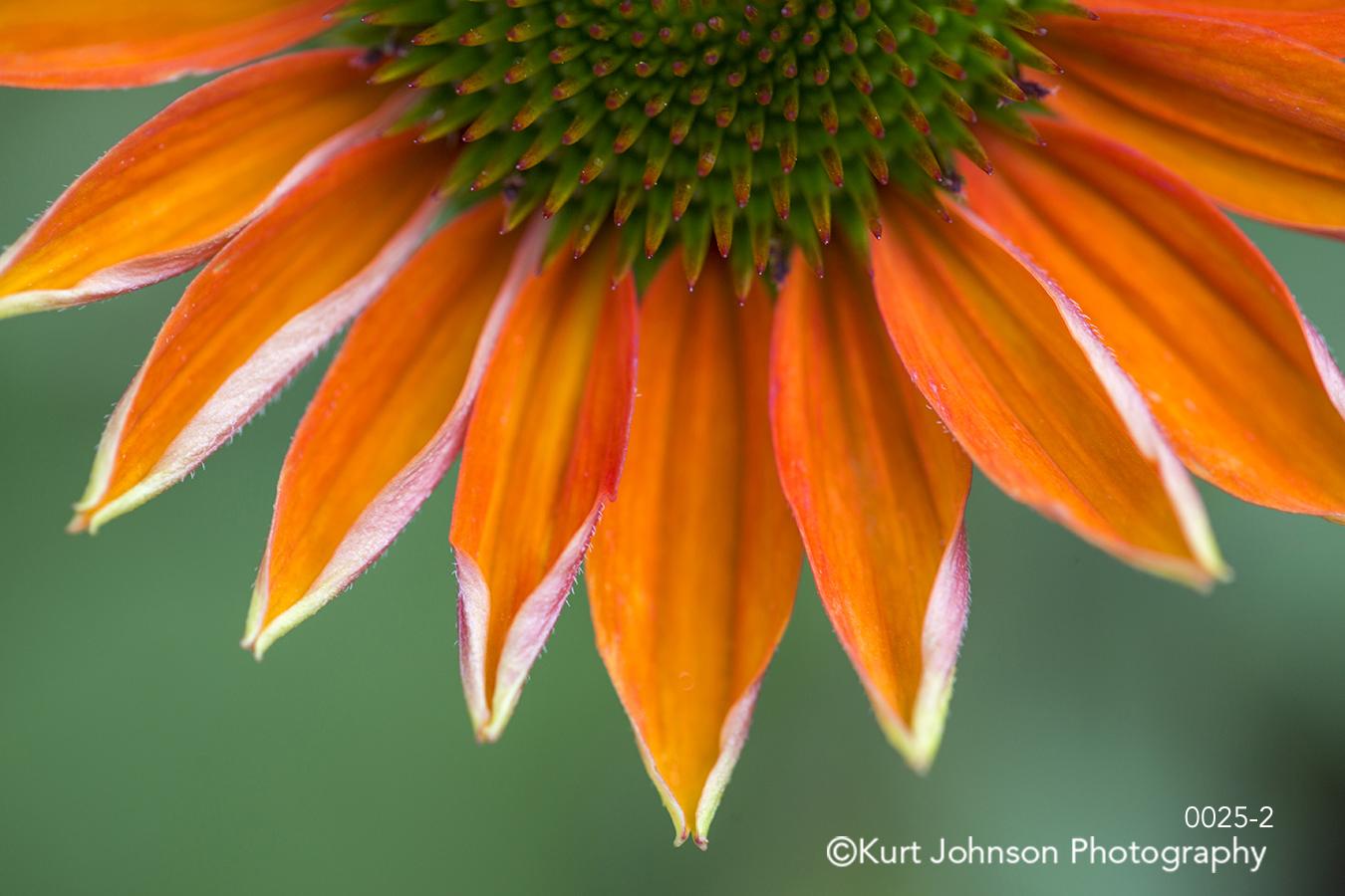 orange flower lines petal petals close up detail macro green
