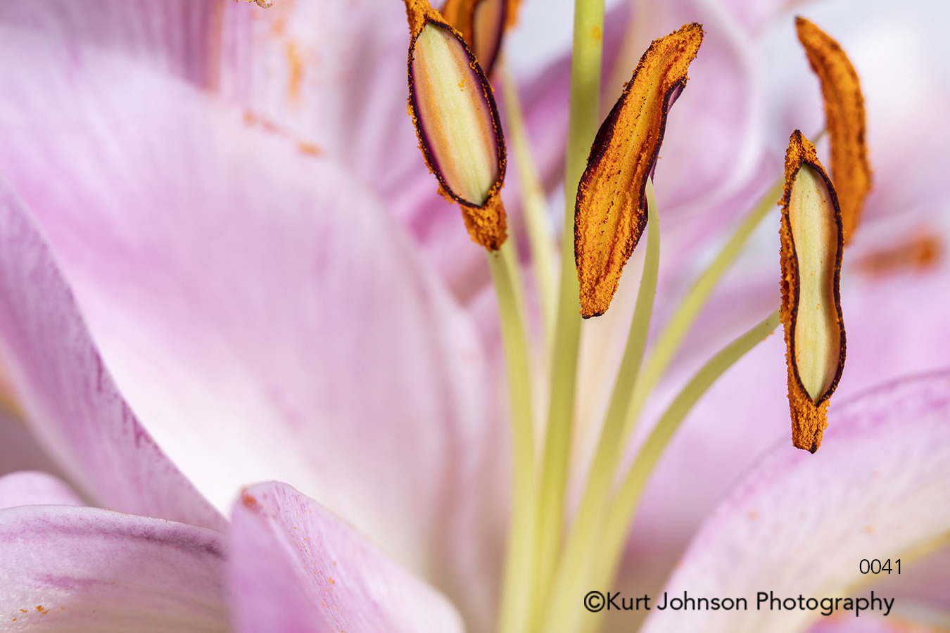 pink flower lily stamen lines close up macro flowers botanical delicate bloom