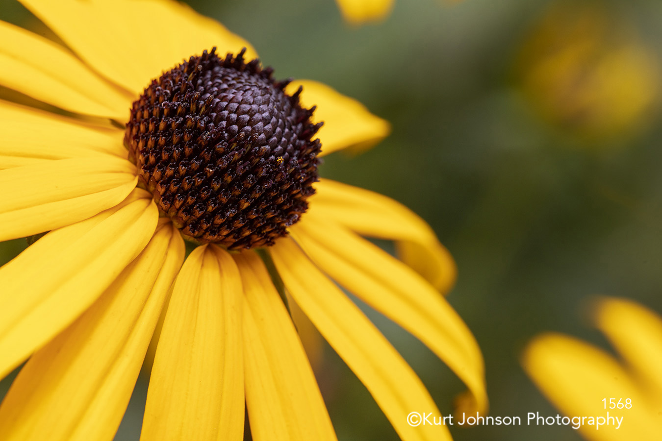yellow flower black eyed susan close up macro detail bright happy botanical