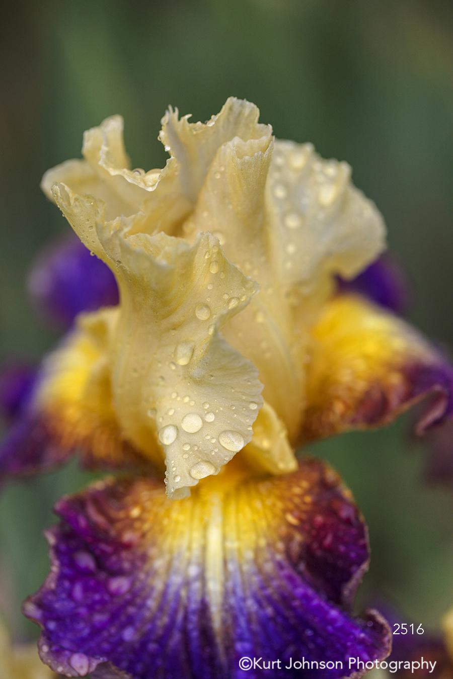 purple tan cream water drop close up iris detail macro flower flowers botanical