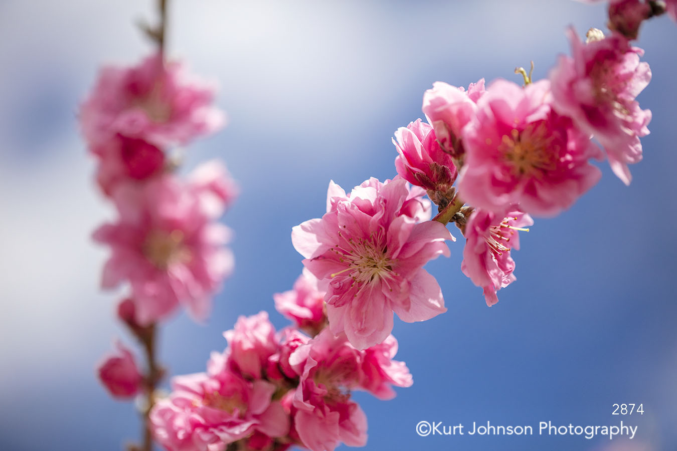 spring pink cherry blossom tree flower flowers branch blue sky detail macro close up