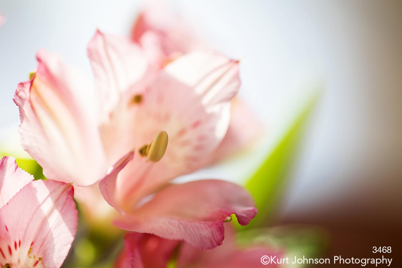 pink lily stamen close up detail macro modern flower flowers botanical