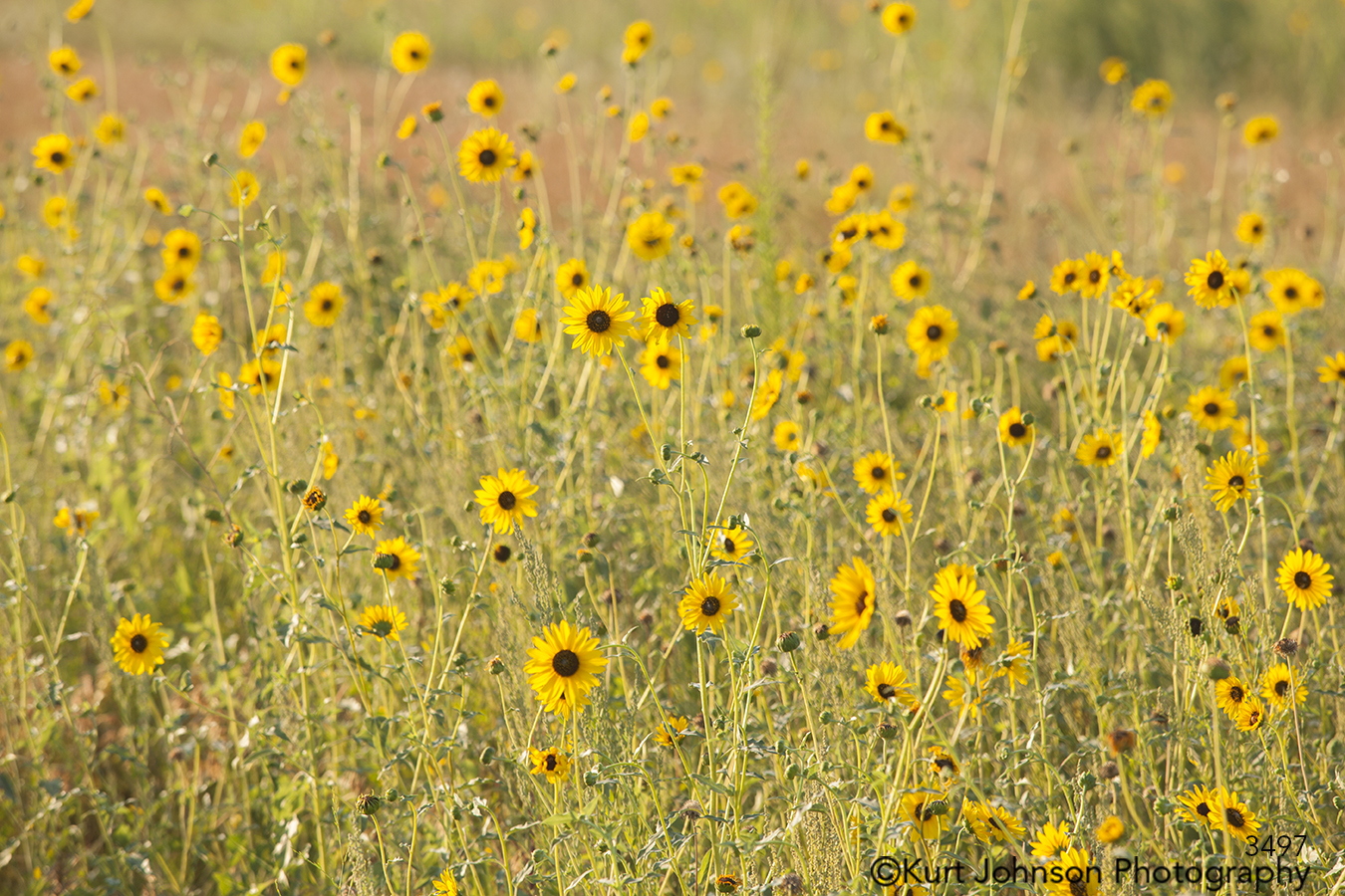 yellow field sunflowers bright happy midwest flowers