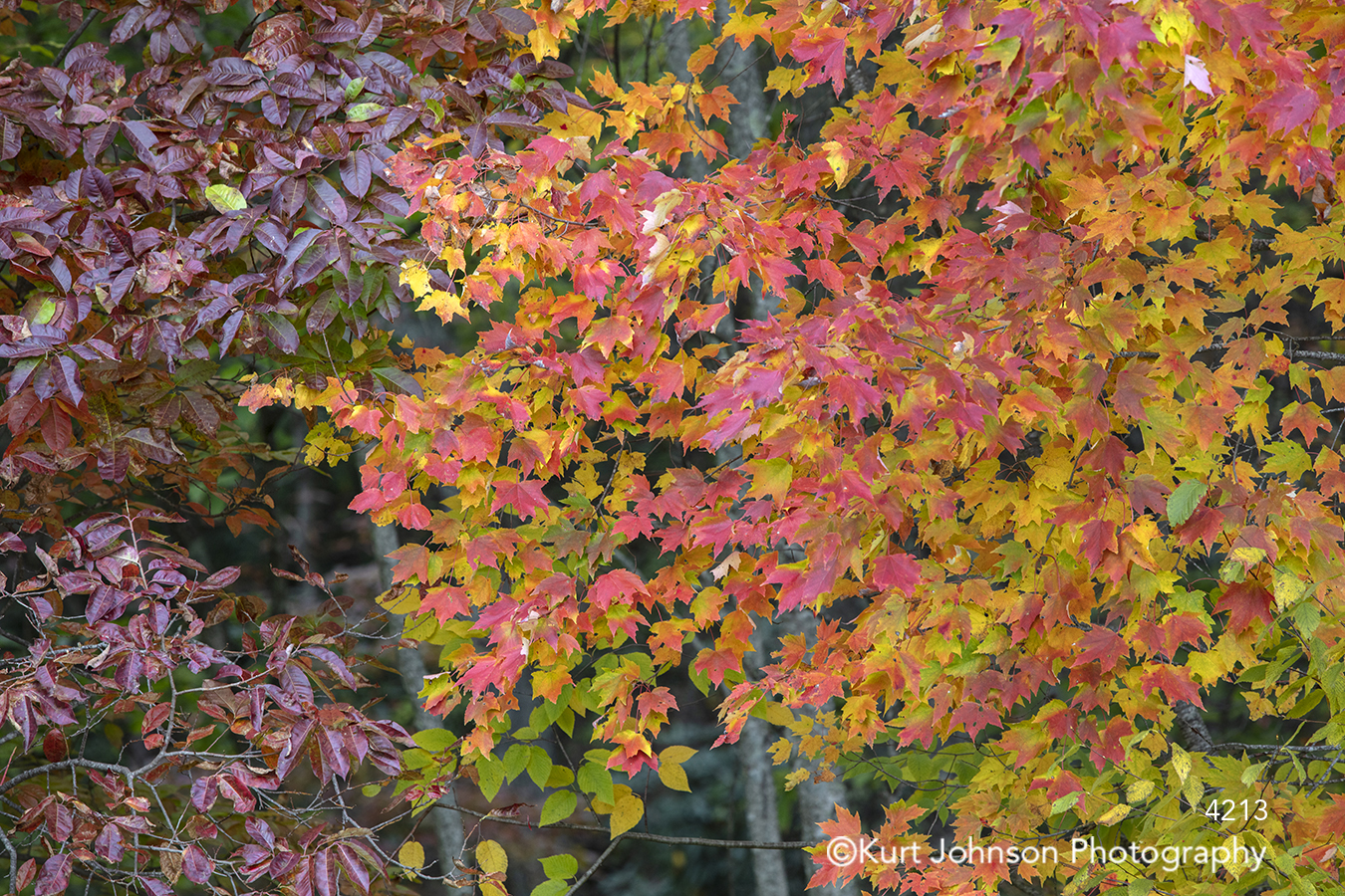 red yellow purple autumn leaves trees fall color branches