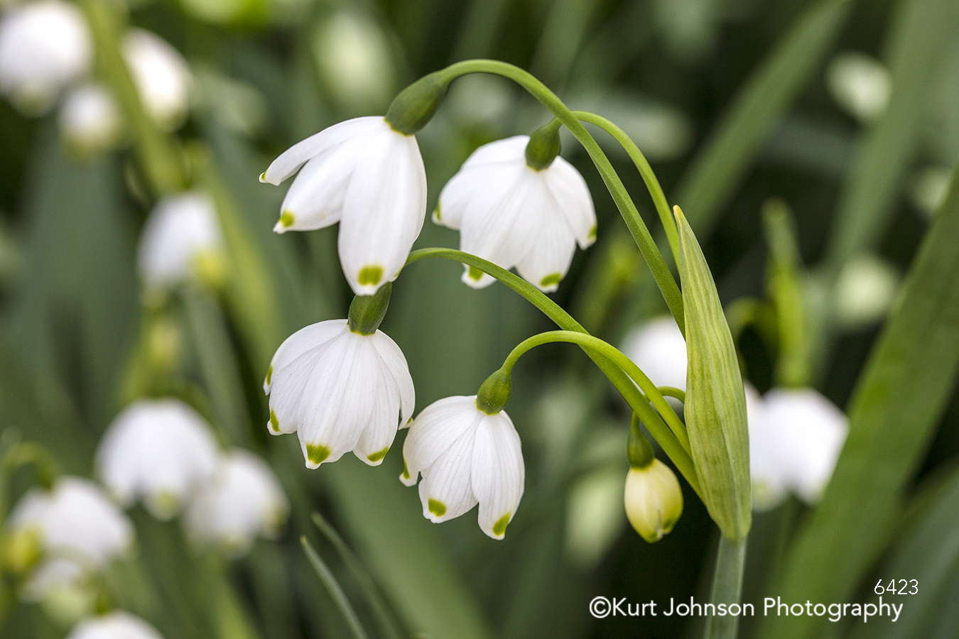 white spring summer flower lily of the valley green grass close up detail macro