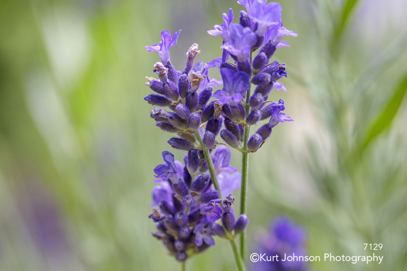 purple violet lavender flower buds close up macro detail stem flowers grasses