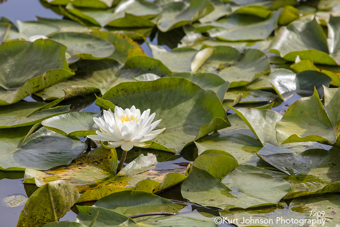 white lotus flower lily pad green water waterscape pond flowers