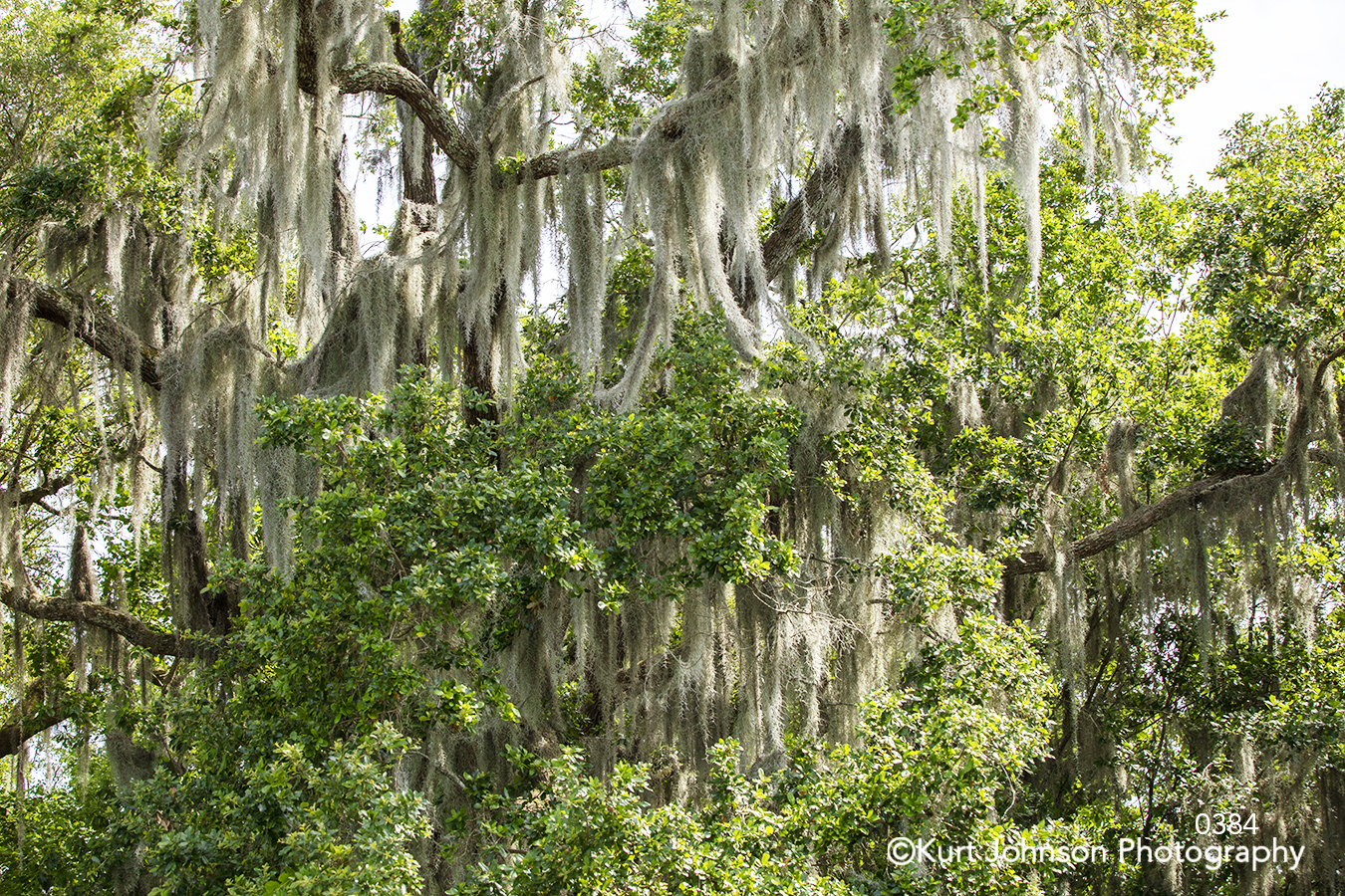 green tree trees spanish moss forest branches south southeast