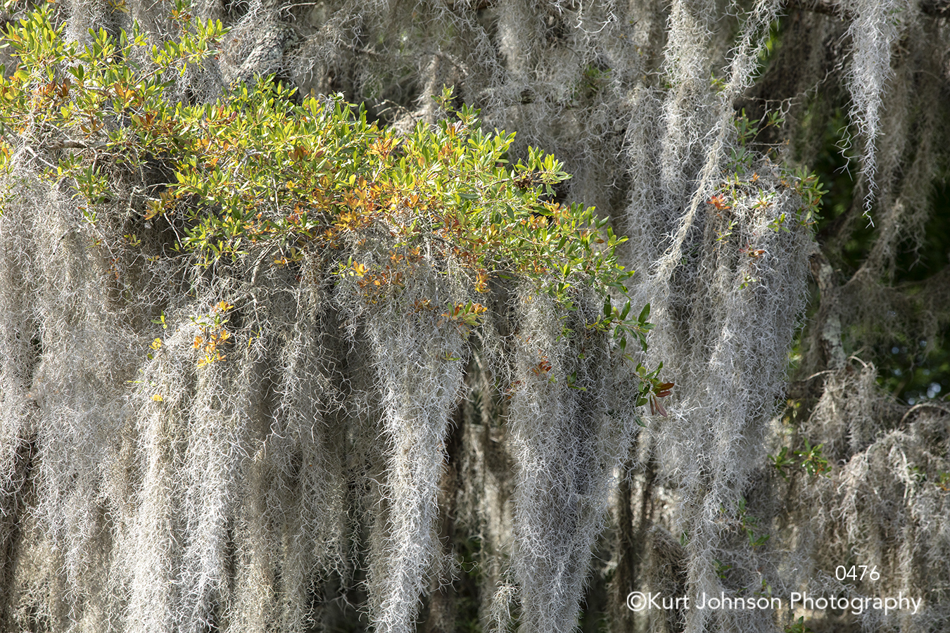 green shrub tree trees spanish moss south southeast texture detail details forest